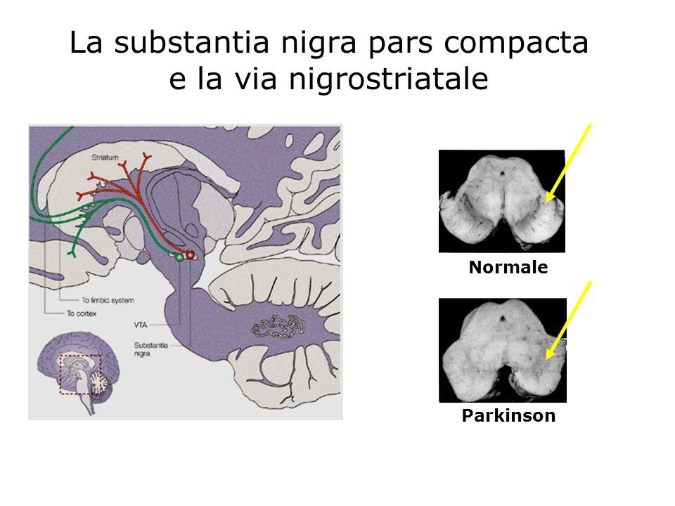 La substantia nigra pars compacta e la via nigrostriatale