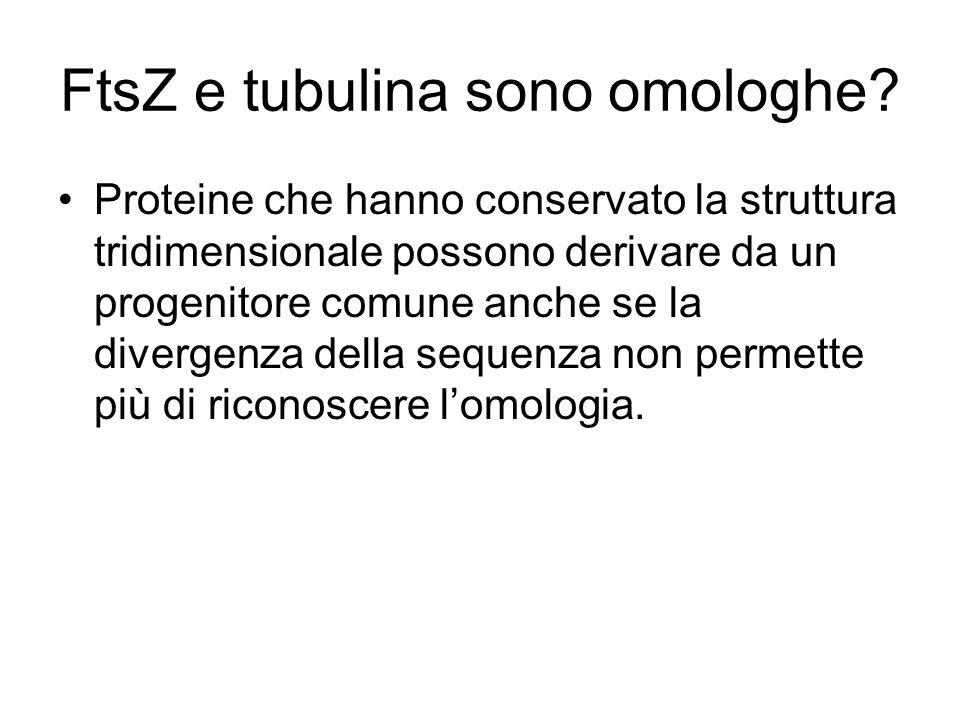 FtsZ e tubulina sono omologhe