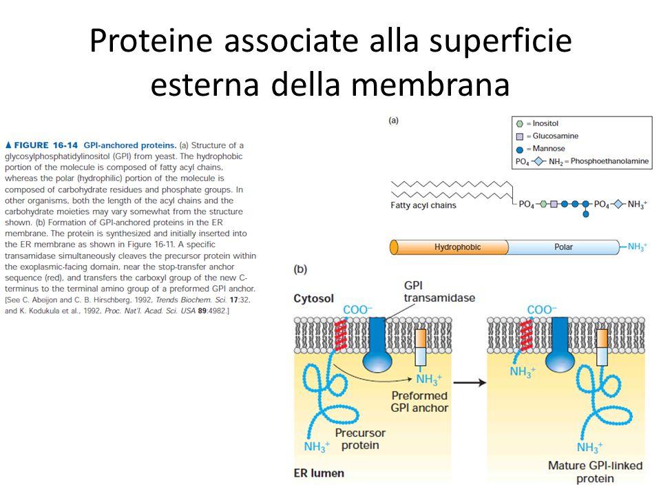 Proteine associate alla superficie esterna della membrana
