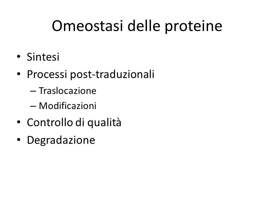 Omeostasi delle proteine