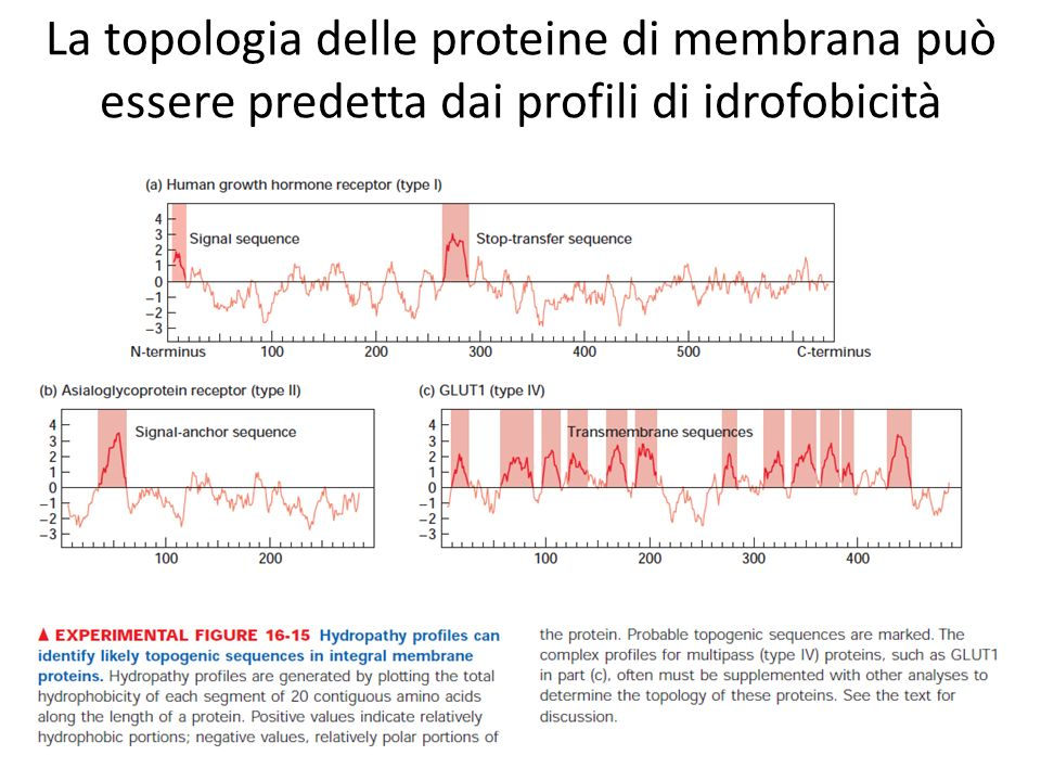 La topologia delle proteine di membrana può essere predetta dai profili di idrofobicità