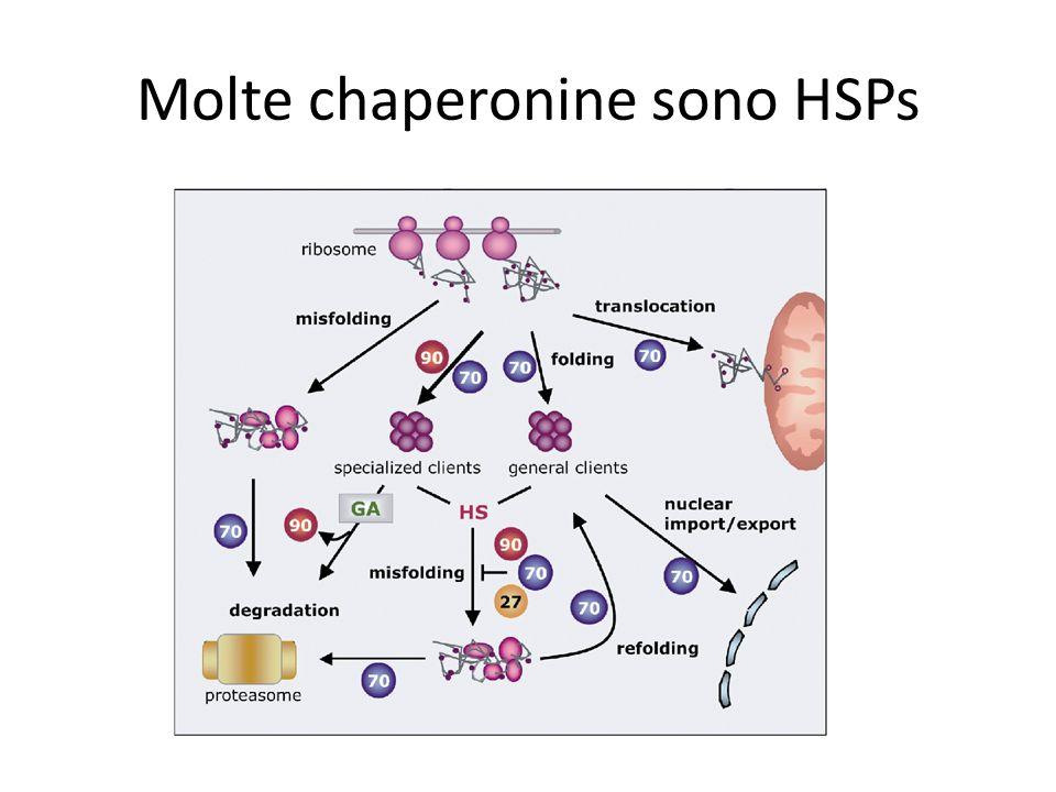 Molte chaperonine sono HSPs