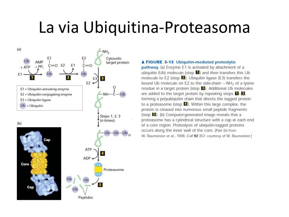 La via Ubiquitina-Proteasoma