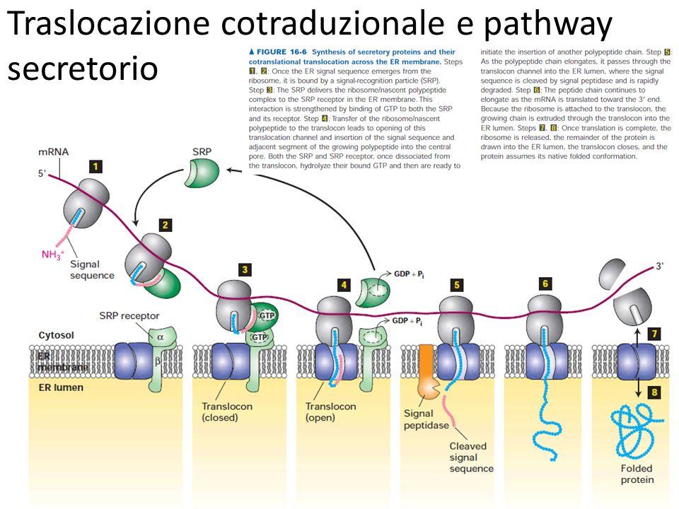Traslocazione cotraduzionale e pathway secretorio