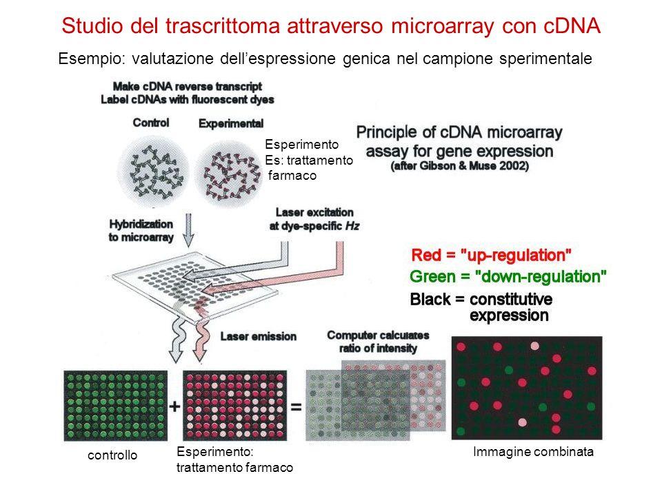 Studio del trascrittoma attraverso microarray con cDNA