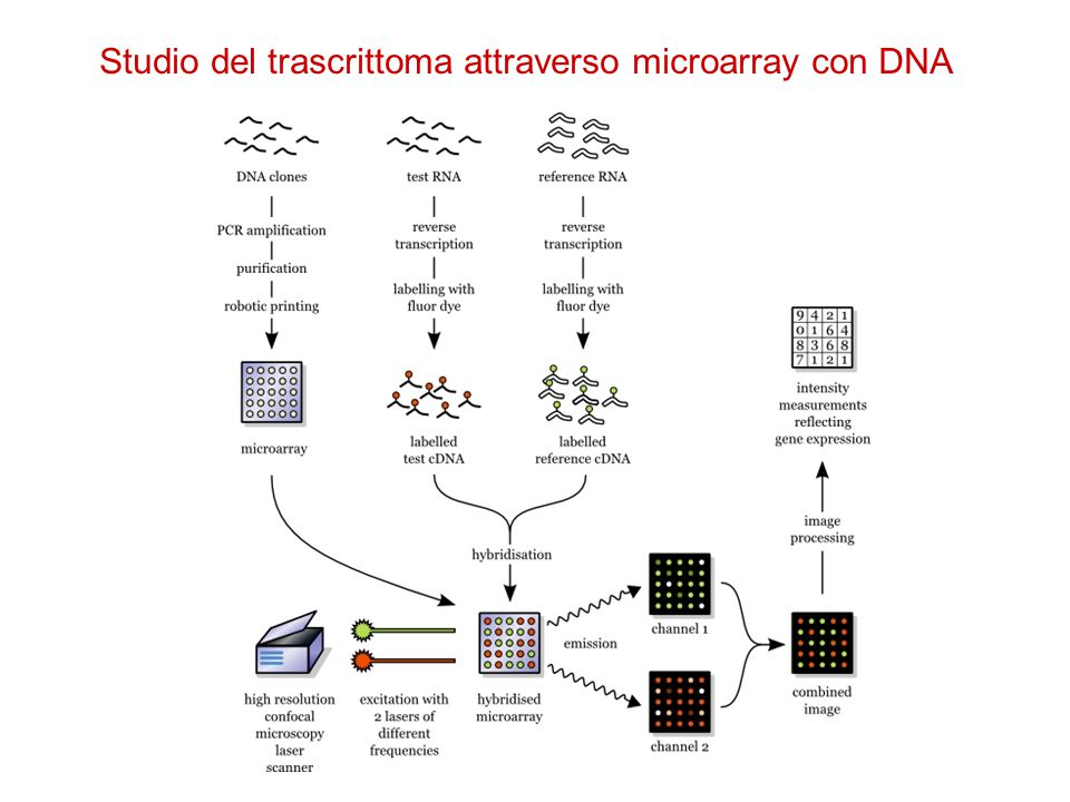 Studio del trascrittoma attraverso microarray con DNA