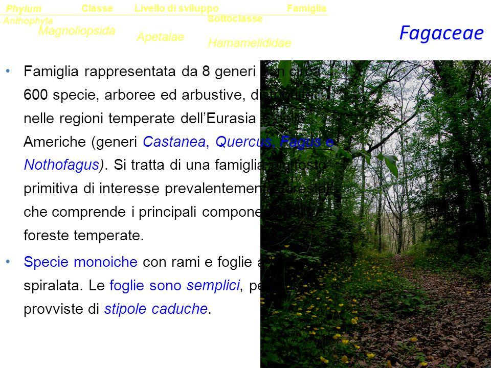 Classe Phylum. Famiglia. Livello di sviluppo. Anthophyta. Fagaceae. Sottoclasse. Magnoliopsida.