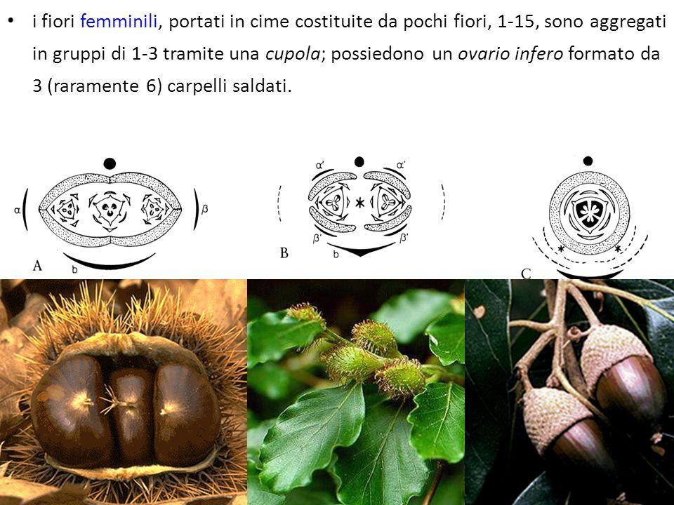 i fiori femminili, portati in cime costituite da pochi fiori, 1-15, sono aggregati in gruppi di 1-3 tramite una cupola; possiedono un ovario infero formato da 3 (raramente 6) carpelli saldati.