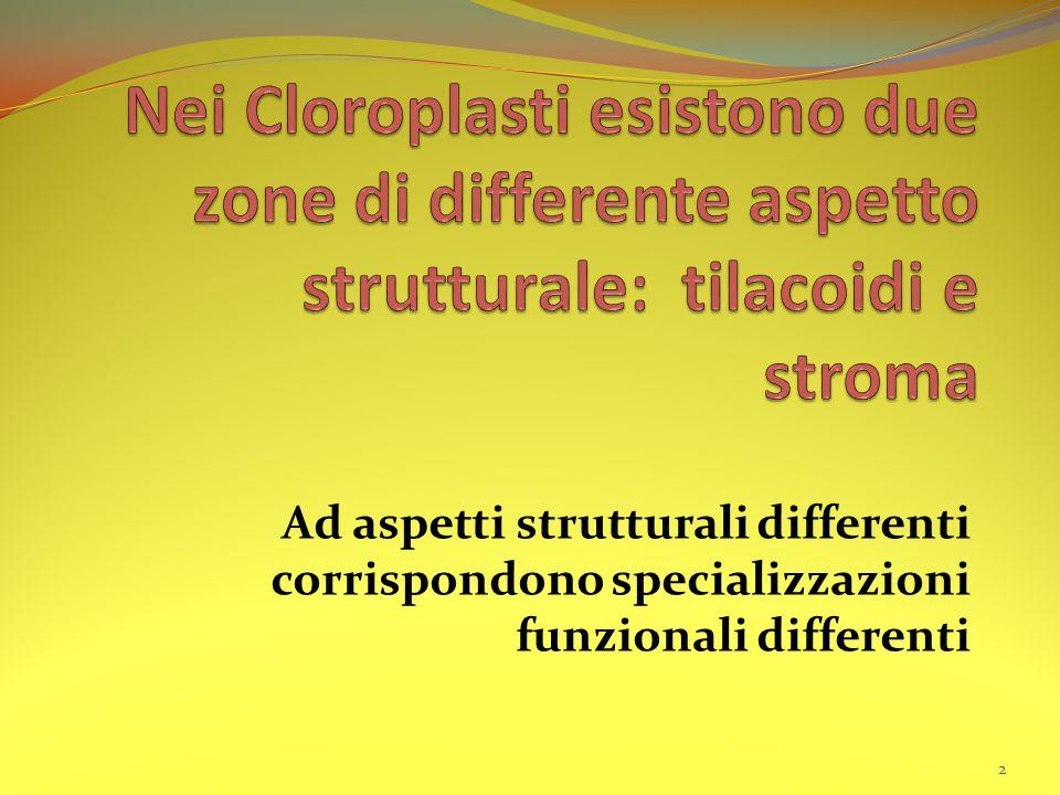 Nei Cloroplasti esistono due zone di differente aspetto strutturale: tilacoidi e stroma
