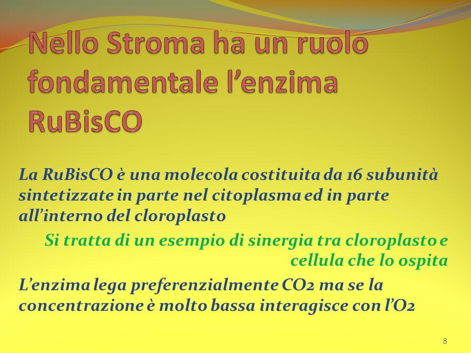 Nello Stroma ha un ruolo fondamentale l'enzima RuBisCO