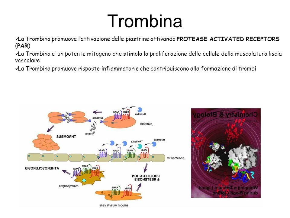 Trombina La Trombina promuove l'attivazione delle piastrine attivando PROTEASE ACTIVATED RECEPTORS (PAR)