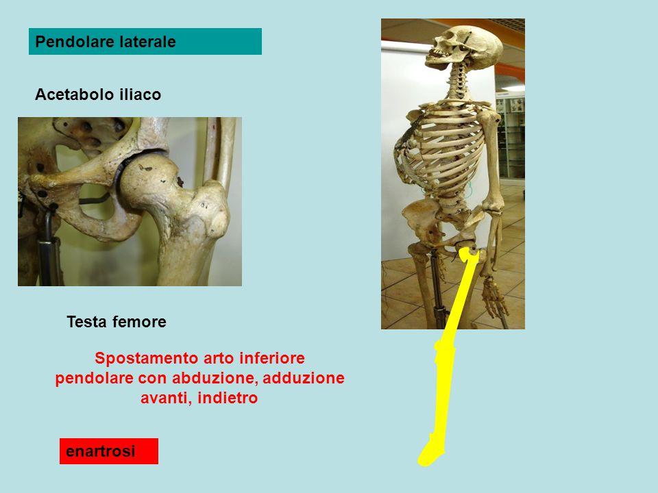 Pendolare laterale Acetabolo iliaco. Testa femore. Spostamento arto inferiore pendolare con abduzione, adduzione avanti, indietro.