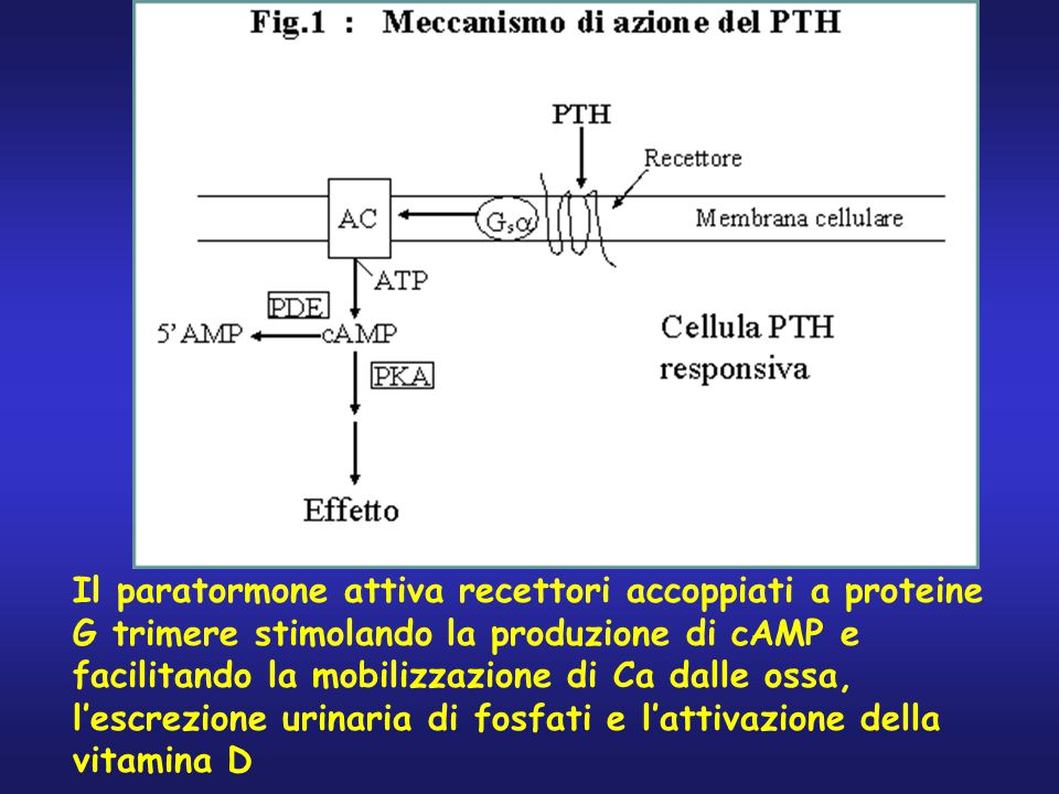Il paratormone attiva recettori accoppiati a proteine G trimere stimolando la produzione di cAMP e facilitando la mobilizzazione di Ca dalle ossa, l'escrezione urinaria di fosfati e l'attivazione della vitamina D