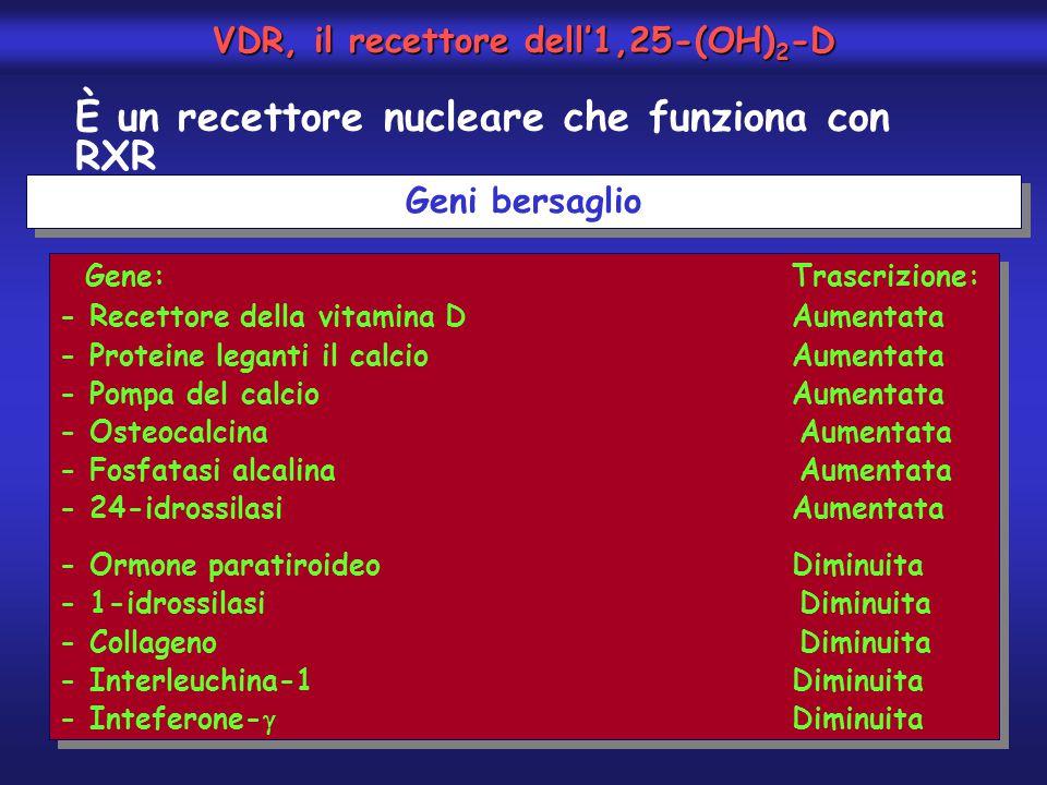 VDR, il recettore dell'1,25-(OH)2-D