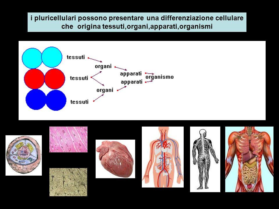 i pluricellulari possono presentare una differenziazione cellulare che origina tessuti,organi,apparati,organismi