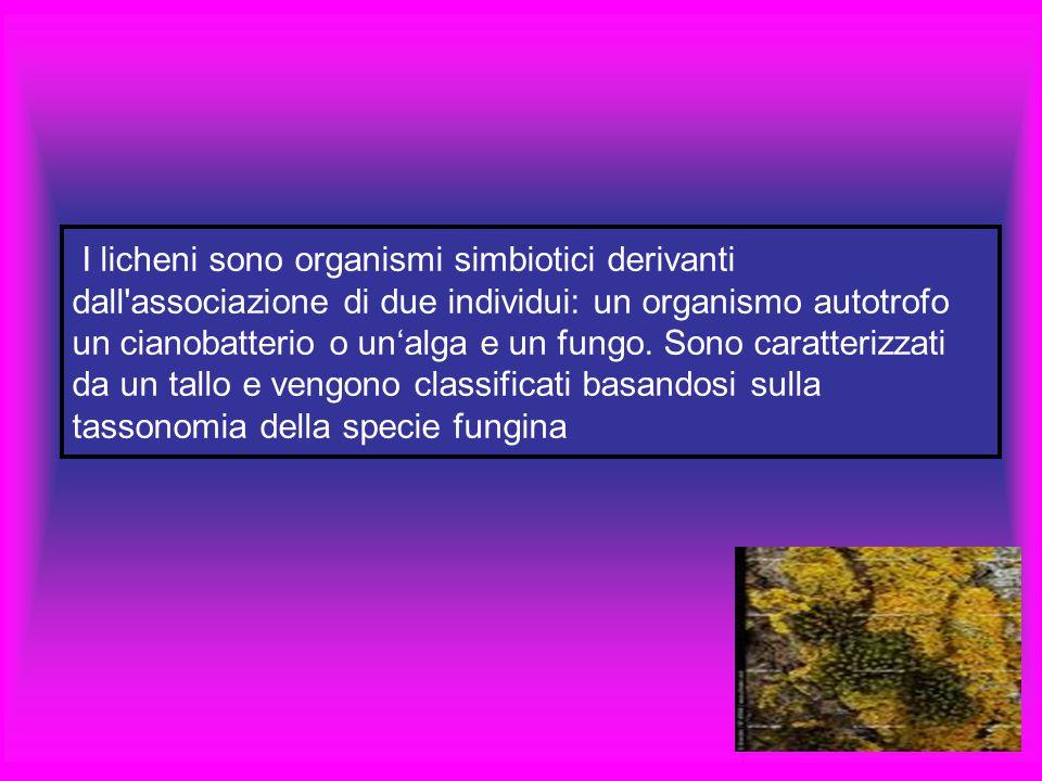 I licheni sono organismi simbiotici derivanti dall associazione di due individui: un organismo autotrofo un cianobatterio o un'alga e un fungo.