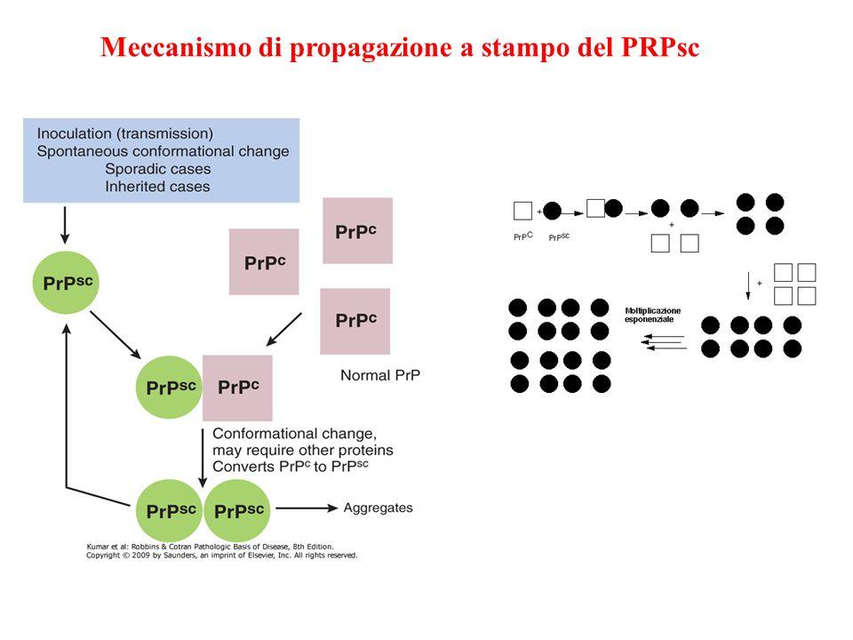 Meccanismo di propagazione a stampo del PRPsc