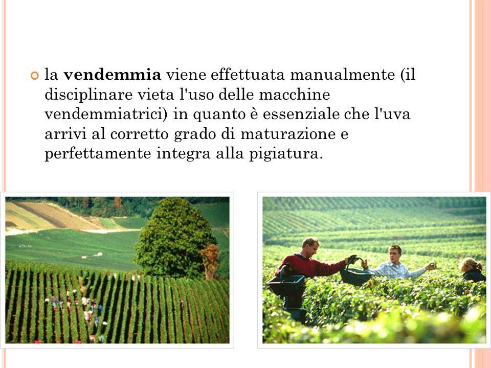 la vendemmia viene effettuata manualmente (il disciplinare vieta l uso delle macchine vendemmiatrici) in quanto è essenziale che l uva arrivi al corretto grado di maturazione e perfettamente integra alla pigiatura.