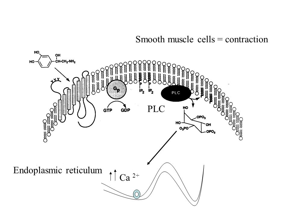 Smooth muscle cells = contraction