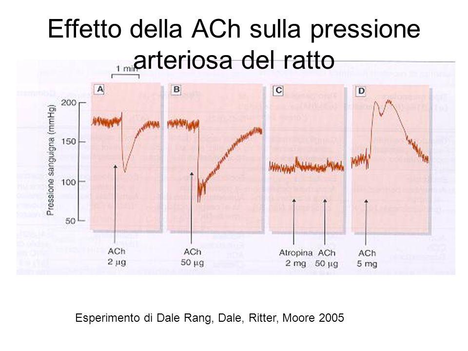 Effetto della ACh sulla pressione arteriosa del ratto