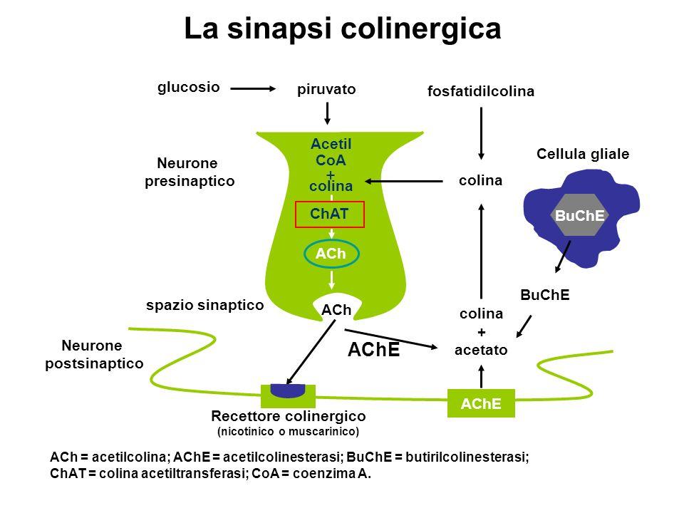 Recettore colinergico (nicotinico o muscarinico)
