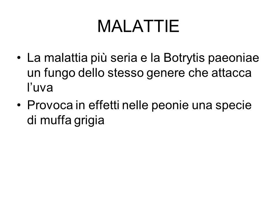 MALATTIE La malattia più seria e la Botrytis paeoniae un fungo dello stesso genere che attacca l'uva.