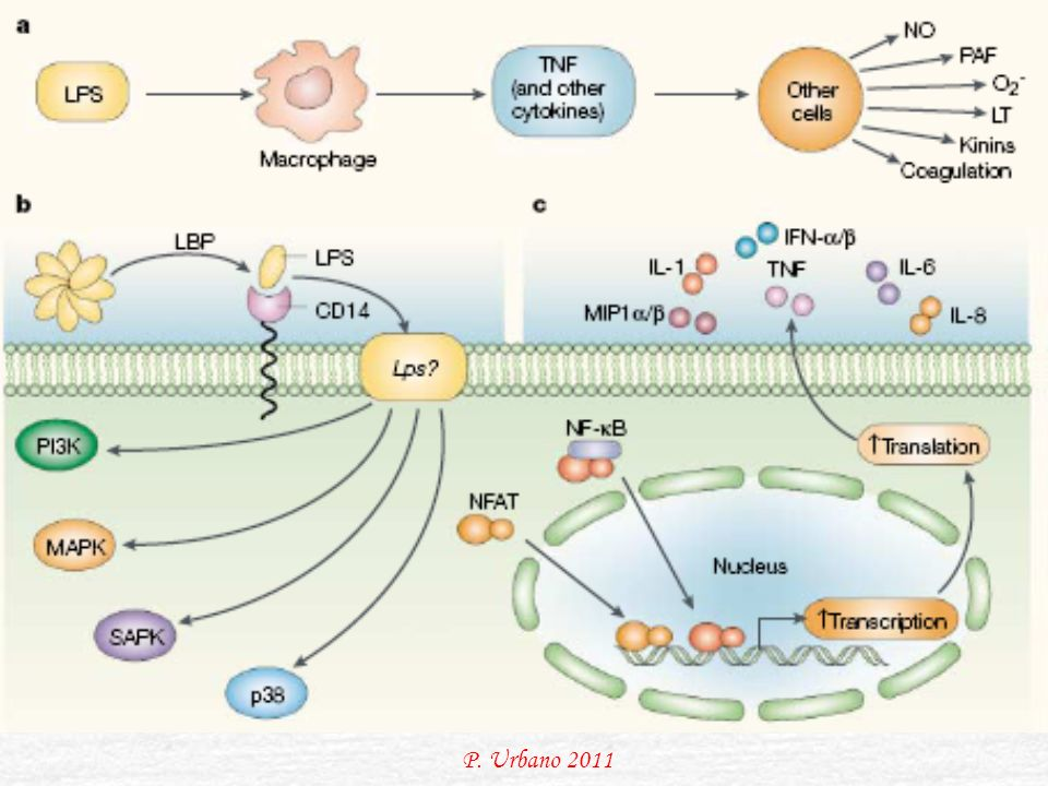 LPS signalling. The recognition that macrophages are of central importance to the lethal effects of lipopolysaccharide (LPS), and the subsequent realization that tumour-necrosis factor (TNF) is a soluble mediator of LPS toxicity (a), allowed detailed biochemical analysis of the events that follow LPS stimulation. By 1990, two of the extracellular components of the LPS-sensing pathway — LPS-binding protein (LBP), which binds plasma LPS and conveys it to the surface of cells in a bioactive form, and CD14 — had been identified (b), as had the main transcription factor for induction of the gene encoding TNF (nuclear factor-κB, NF-κB) (c) and several protein kinases that are activated by LPS