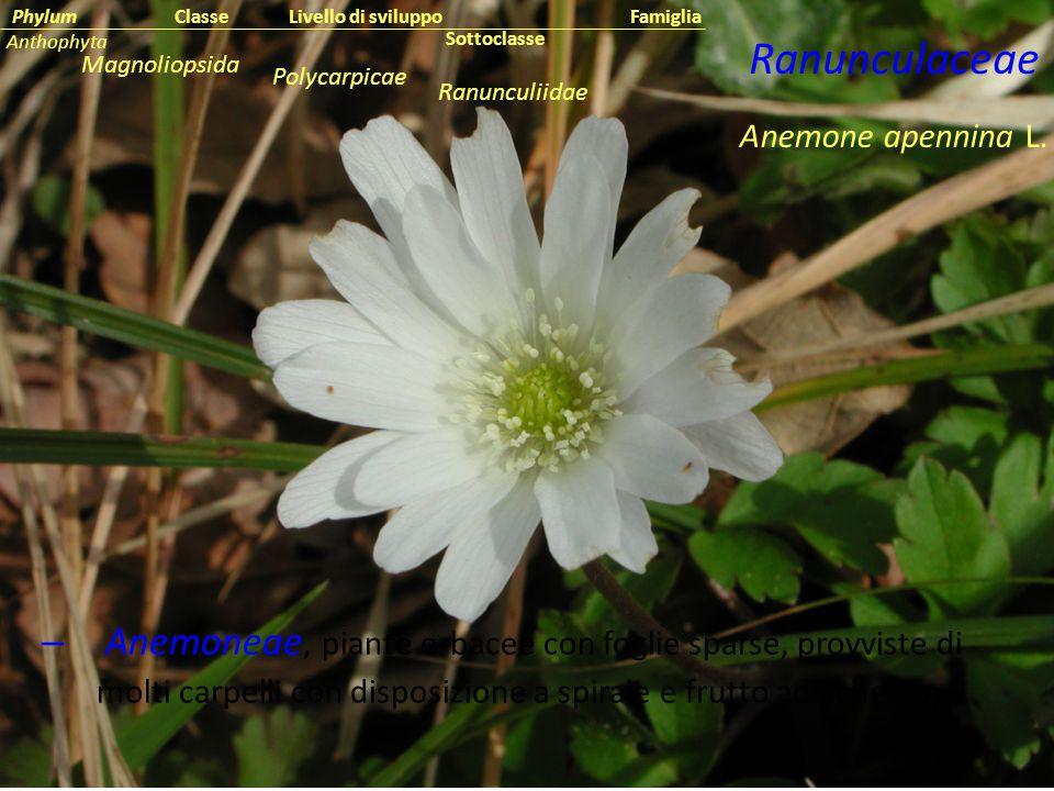 Classe Phylum. Famiglia. Livello di sviluppo. Anthophyta. Ranunculaceae. Sottoclasse. Magnoliopsida.