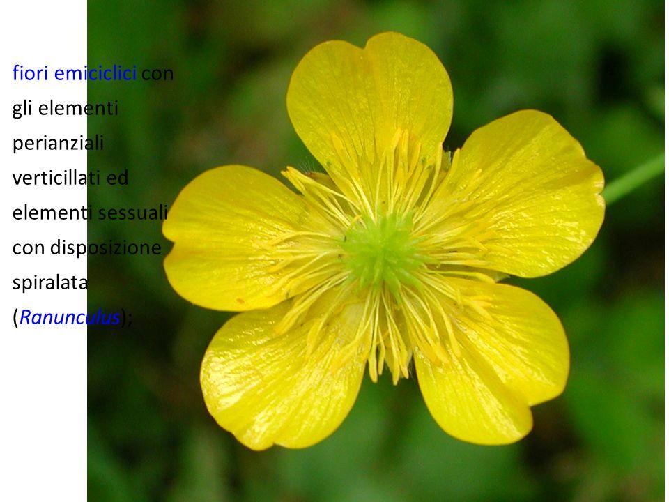 fiori emiciclici con gli elementi perianziali verticillati ed elementi sessuali con disposizione spiralata (Ranunculus);