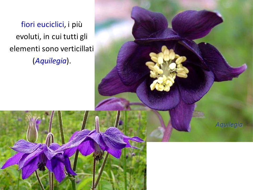 fiori euciclici, i più evoluti, in cui tutti gli elementi sono verticillati (Aquilegia).