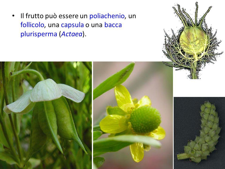 Il frutto può essere un poliachenio, un follicolo, una capsula o una bacca plurisperma (Actaea).