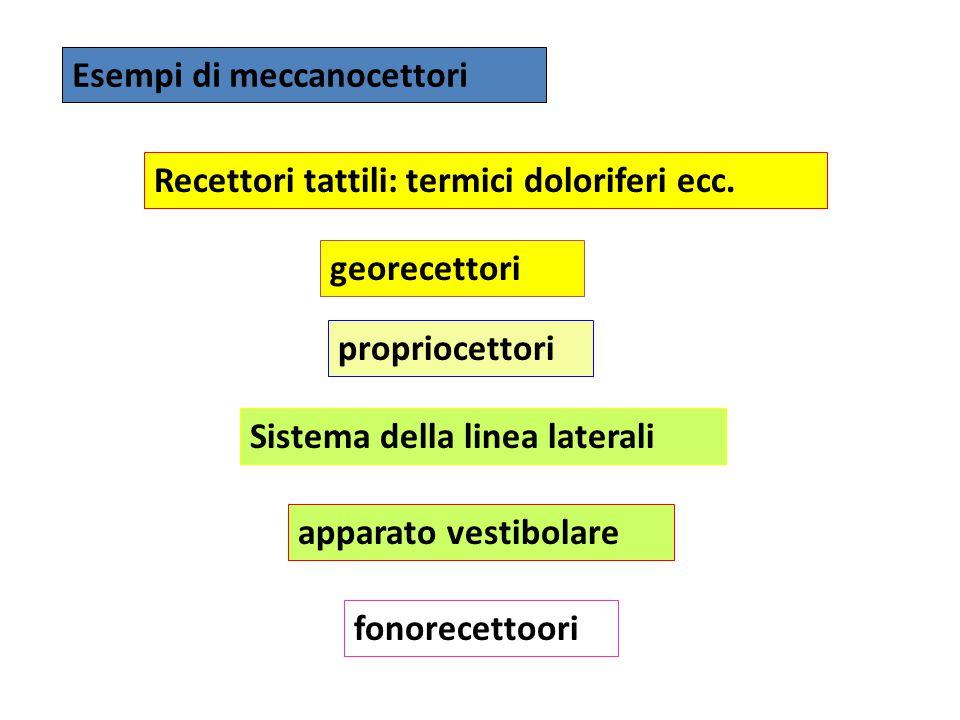 Esempi di meccanocettori