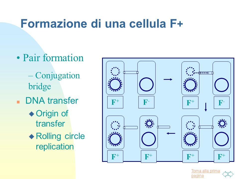 Formazione di una cellula F+