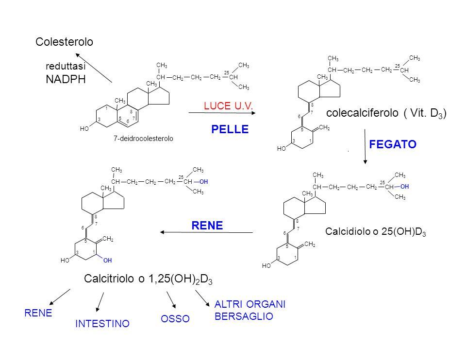 PELLE Colesterolo NADPH colecalciferolo ( Vit. D3) FEGATO RENE