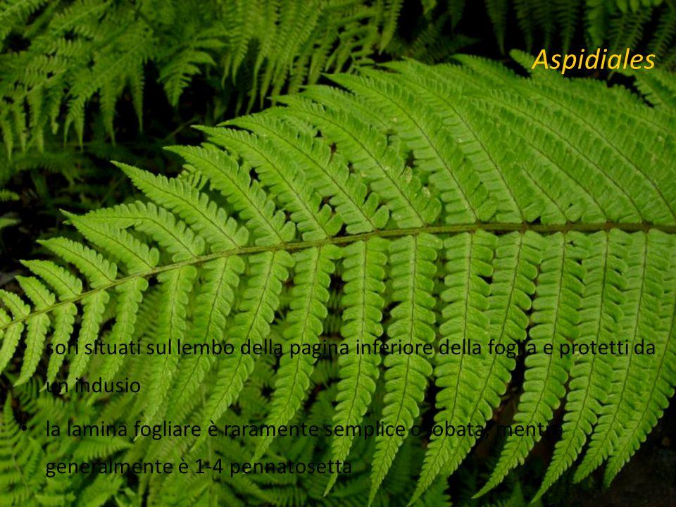 Aspidiales sori situati sul lembo della pagina inferiore della foglia e protetti da un indusio.
