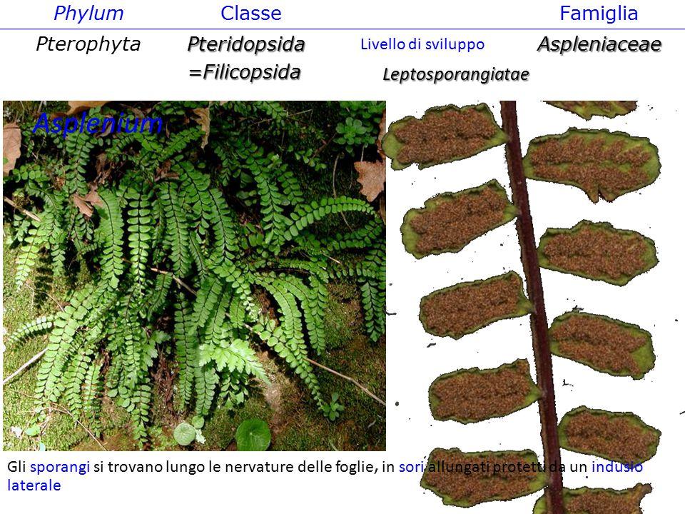 Asplenium Phylum Classe Famiglia Pterophyta Pteridopsida =Filicopsida