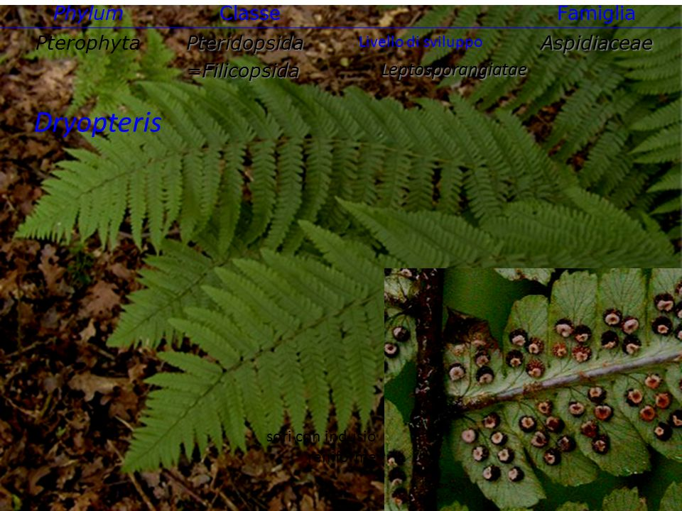 Dryopteris Phylum Classe Famiglia Pterophyta Pteridopsida =Filicopsida