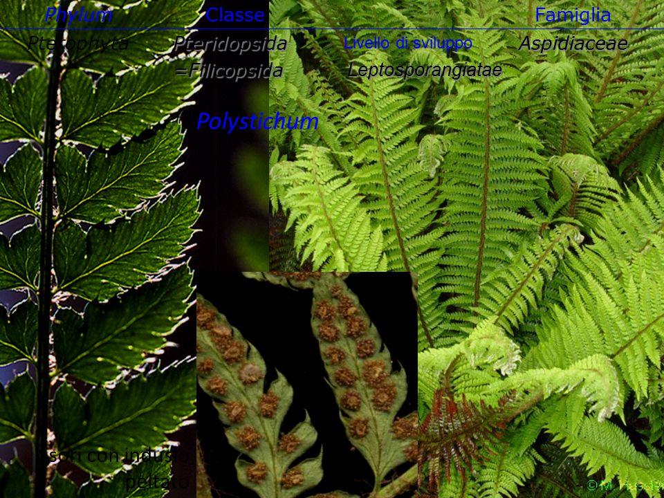 Polystichum sori con indusio peltato Phylum Classe Famiglia Pterophyta