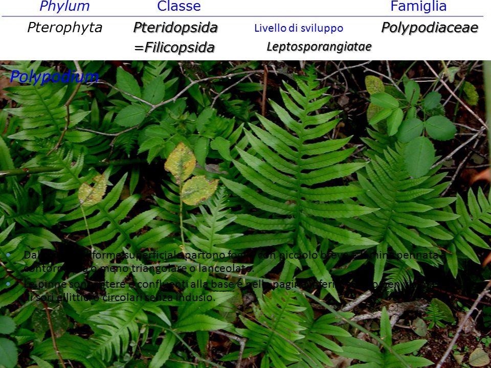 Polypodium Phylum Classe Famiglia Pterophyta Pteridopsida =Filicopsida