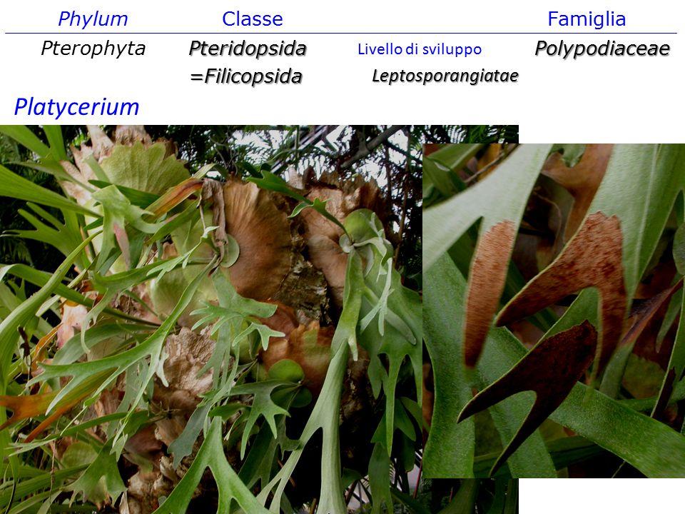 Platycerium Phylum Classe Famiglia Pterophyta Pteridopsida
