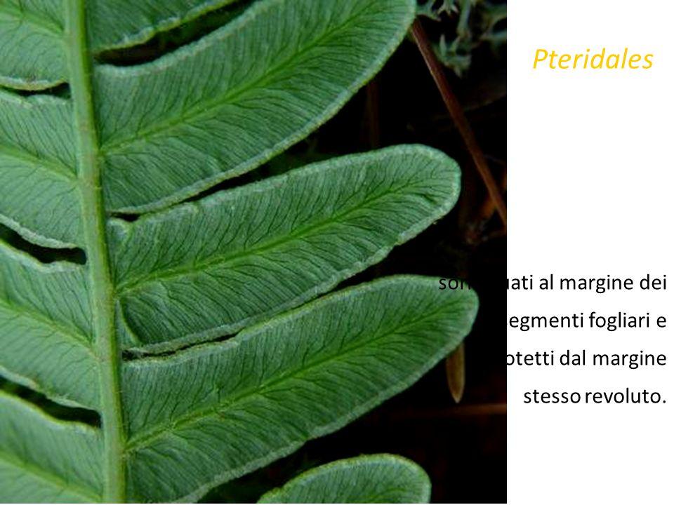 Pteridales sori situati al margine dei segmenti fogliari e protetti dal margine stesso revoluto.