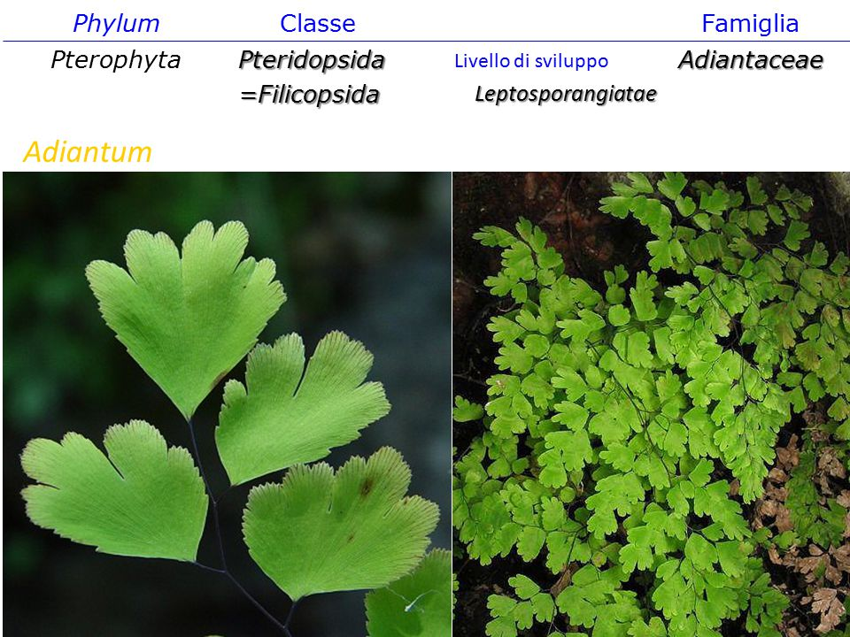 Adiantum Phylum Classe Famiglia Pterophyta Pteridopsida =Filicopsida
