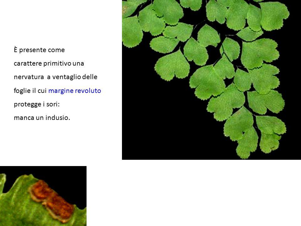 È presente come carattere primitivo una. nervatura a ventaglio delle. foglie il cui margine revoluto.