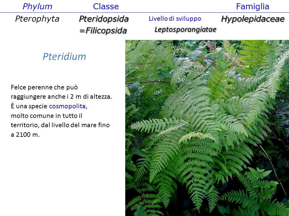Pteridium Phylum Classe Famiglia Pterophyta Pteridopsida =Filicopsida