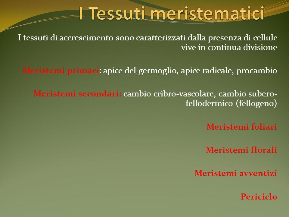 I Tessuti meristematici