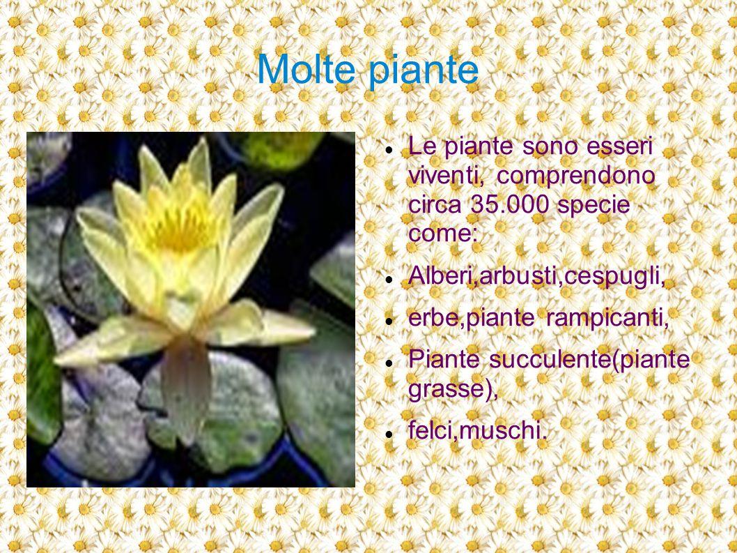 Molte piante Le piante sono esseri viventi, comprendono circa 35.000 specie come: Alberi,arbusti,cespugli,