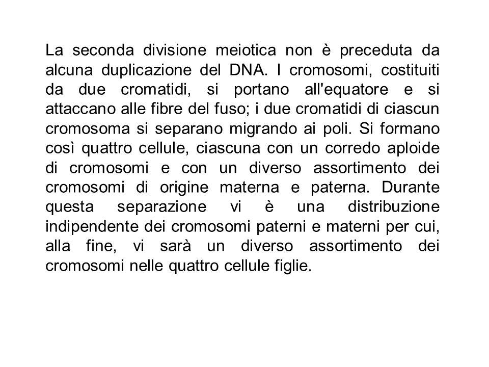 La seconda divisione meiotica non è preceduta da alcuna duplicazione del DNA.