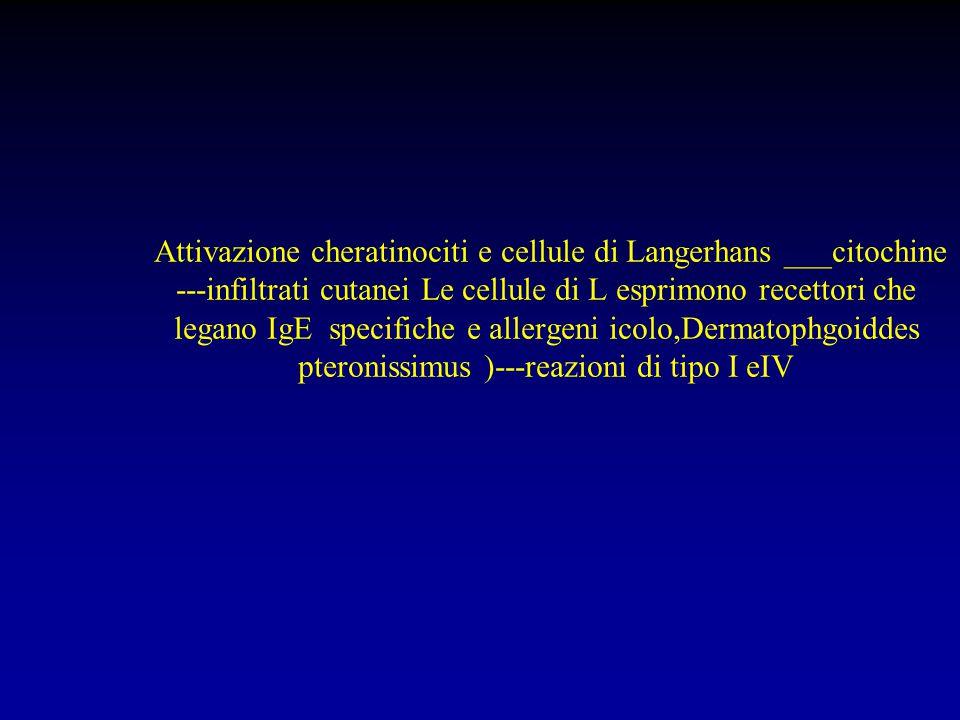 Attivazione cheratinociti e cellule di Langerhans ___citochine ---infiltrati cutanei Le cellule di L esprimono recettori che legano IgE specifiche e allergeni icolo,Dermatophgoiddes pteronissimus )---reazioni di tipo I eIV