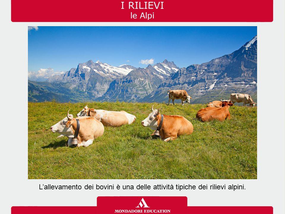 I RILIEVI le Alpi L'allevamento dei bovini è una delle attività tipiche dei rilievi alpini.