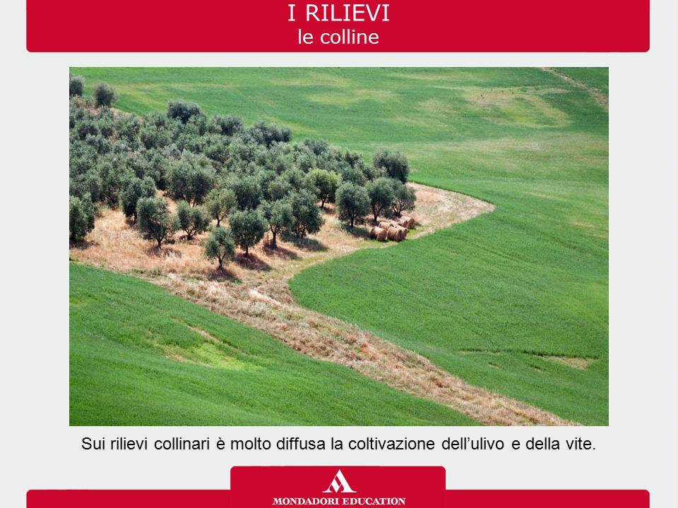 I RILIEVI le colline Sui rilievi collinari è molto diffusa la coltivazione dell'ulivo e della vite.